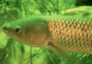 Amur pesce